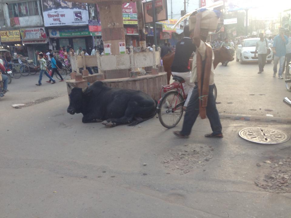 0923_交差点で寝る牛